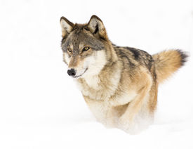 picture of apex  - Timber Wolf running in snow from left to right side of frame - JPG