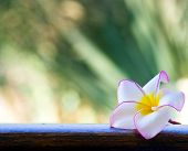 Pink frangipani flowers on green background
