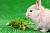 Domestic Rabbit Eating poster