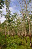 Malaysian Gum Tree Plantation