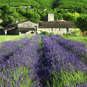 countryside of Provence with blooming lavander field