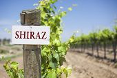 Shiraz Sign On Post at the End of a Vineyard Row of Grapes.