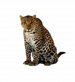 stock photo of panthera uncia  - Compared to other members of the Felidae family - JPG