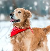 golden retriever walk at the snow in winter park close-up