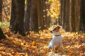 image of jacking  - jack russel on autumn alley - JPG