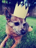 a cute chihuahua with a crown laying on green grass toned a retro vintage instagram filter