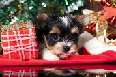 puppy  on the New Year's gifts