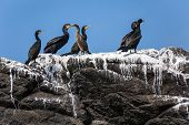 Cormorants birds colony on rock covered with guano, Brittany, France