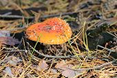 picture of hallucinogens  - Nice red agaric fly mushroom  - JPG