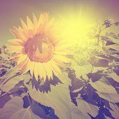 Vintage photo of sunflower in the field at sunset.