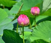 Lotus flower and Lotus flower plants in the pond