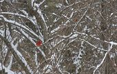 pic of dogwood  - Two brilliantly red cardinal birds perched on snowy dogwood tree branches in winter - JPG