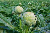 Artichokes field in Murcia Almeria region of Spain