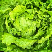 Green Iceberg Lettuce