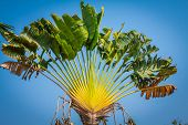 picture of banana tree  - Banana tree on a background of blue sky Asia - JPG
