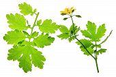 foto of celandine  - Blooming Celandine  - JPG