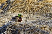 picture of male mallard  - A male Mallard is perched on the frost covered brown grass - JPG
