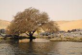 Tree in the desert close to the Nile river