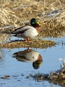 image of male mallard  - A male Mallard is perched on a dirt clump and casts a relection in the water - JPG