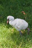 Baby Flamingo III