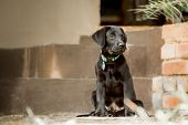 Labrador Puppy By Steps
