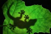 Lizard Silhouette In The Leaf