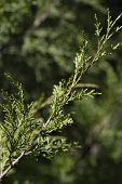 Alabama Red Cedar Bough - Juniperus virginiana