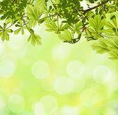 Fresh spring of horse chestnut against  defocused light green background.