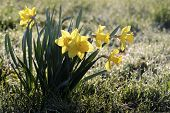 Daffodils With Morning Dew