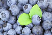 Blueberries With Bright Green Leaves