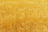 yellow ripe harvest field. soft focus