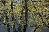 Birch Trees In Spring Time