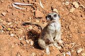 image of meerkats  - Meerkat sitting and looking up at the camera - JPG