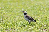 Black Collared Starling Birds Feeding On Green Grass Field