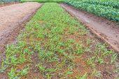 Seedling Of Morning Glory In Vegetable Garden