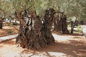picture of gethsemane  - Eternal holy Jerusalem - JPG