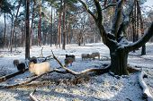 Sheep In Forest With Snow