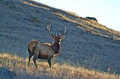 foto of antlers  - A lone bull elk stands on a hillside with the sun glinting off his antlers. The wild grassland surrounds him in the early springtime.