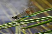 Iridescent green damselfly