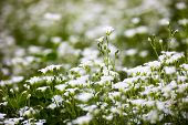 foto of greater  - White flowers of Stellaria holostea  - JPG
