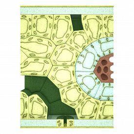 picture of stomata  - The cross section of a typical leaf is divisible into three main parts namely - JPG
