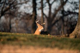 image of bucks  - Whitetailed deer buck laying down in an open meadow in Jefferson Barracks National Cemetery near St - JPG