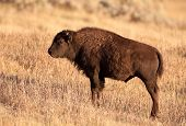 picture of lamar  - Yearling Bison standing on hillside with golden sunset light - JPG