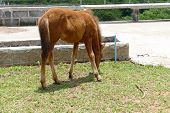 pic of pony  - brown pony is eating grass in the farm - JPG