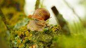 stock photo of creeping  - Big snail is creeping along mossy tree - JPG