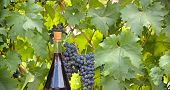 image of grape  - Red wine and red grapes on grape vine