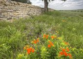 foto of tallgrass  - old limestone fence and butterfly milkweed in spring - JPG