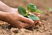 pic of marrow  - seedling of vegetable marrow with soil in hands of woman - JPG