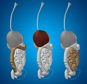 picture of digestive  - Concept or conceptual anatomical human or man 3D set or collection of digestive system on blue background - JPG