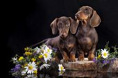 picture of dachshund  - tvo puppies dachshund chocolate colors - JPG